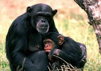 Vědci z univerzity v americké Atlantě se v poslední době zabývají chováním skupiny šimpanzů v závislosti na jejich vzájemných sociálních vztazích.