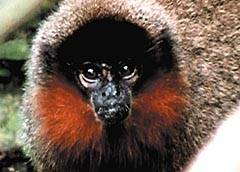 Robert Wallace, který v loňském roce objevil v bolívijském národním parku Madidi dosud neznámý druh opice, nyní dává příležitost všem lidem z celého světa, aby nového savce pojmenovali.