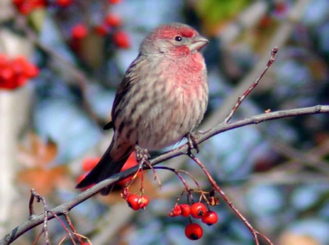 Ornitologové věří, že si mláďata zpěvných ptáků během nočního spánku procvičují zpěv a díky tomu se v něm zdokonalují. Důkazy o tom přináší nejnovější vědecká studie.