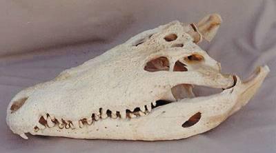 Brazilští paleontologové právě odhalili téměř nedotčenou kostru prehistorického krokodýla. Jejich nález by mohl ostatním vědcům více napovědět, jak fungoval svět před 70 miliony let.