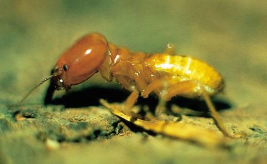 Doposud se předpokládalo, že termiti jsou nenasytní a nevybíraví strávníci, kteří zkonzumují všechno nalezené dřevo. Podle nejnovějšího výzkumu australských odborníků se ale zdá, že tomu je jinak.