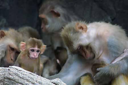 Opice si pečlivě vybírají, koho okradou o potravu! Právě v těchto dnech to při svých pokusech prokázali dva američtí vědci z university v Yale.