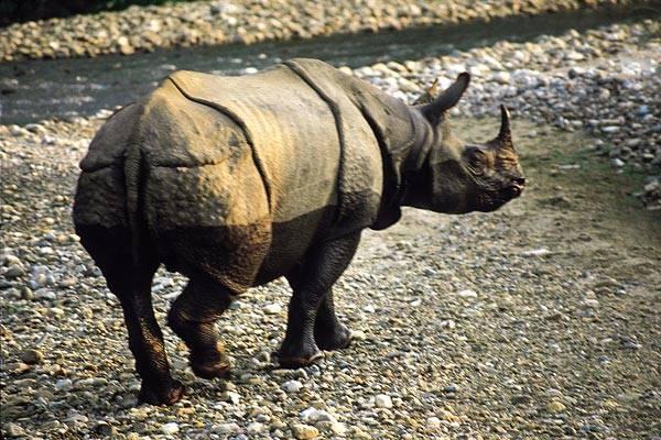 Počty jednoho z nejvzácnějších živočichů naší planety, jednorohého nosorožce, povážlivě klesají. Vyplývá to z výsledků jejich nejnovějšího sčítání v Nepálu.