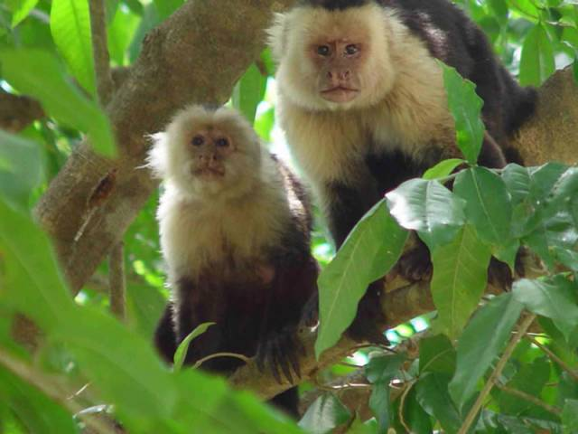 Vědcům se nedávno podařilo získat první přímé důkazy o tom, že ve volné přírodě  používají různé pomocné nástroje nejen vyspělí lidoopi – přímí předchůdci člověka, ale také opice.