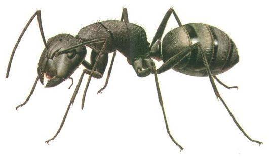 Některé druhy jihoamerických mravenců při lovení drobného hmyzu používají velmi neobvyklé techniky, které v živočišné říši nemají obdoby.