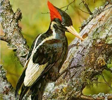 Jedinečný druh datla, který byl od roku 1920 považován za vyhynulého, nyní objevili američtí ornitologové v neprostupných lesích východního Arkansasu.