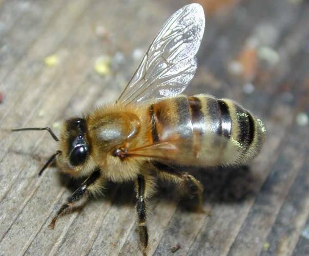 Tým britských odborníků nedávno nabídl možné řešení záhady, která již dlouhá léta trápí nejednoho majitele včelstev.