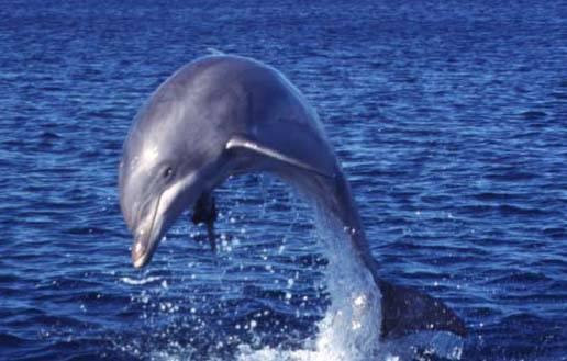 Stejně jako zahradník nosí rukavice, aby si při práci ochránil ruce, delfíni používají při hledání potravy mořské houby.