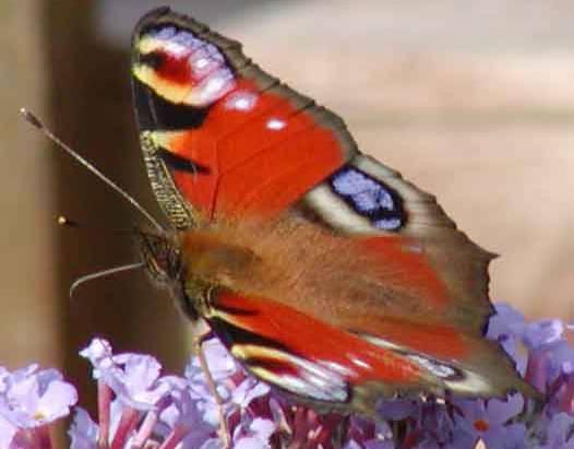 Babočka paví oko se často stává oblíbenou pochoutkou pro ptáky. Švédští vědci nyní ale zjistili, že motýl své nepřátele dokáže snadno oklamat.