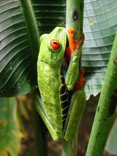 V současné době známe na 5743 druhů obojživelníku, žijících na naší planetě, a jejich počet katastrofálně klesá. Obojživelníci patří mezi nejrychleji vymírající zvířata na Zemi. Odborníci zatím neznají příčinu a hledají cesty, jak tomu zabránit.