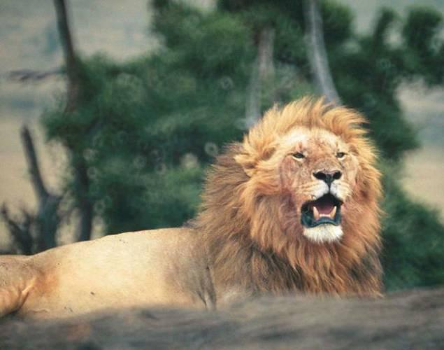 Hladoví lvi v Tanzanii v současnosti útočí třikrát častěji na lidi než před patnácti lety. Vyplývá to z nedávno zveřejněné studie amerických a afrických odborníků.
