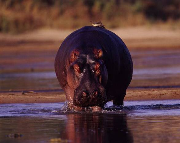 Hroši v africké zemi Kongo v současnosti čelí vyhynutí. Z  kdysi nejpočetnější populace těchto savců na světě zbylo pouhých 887 jedinců!