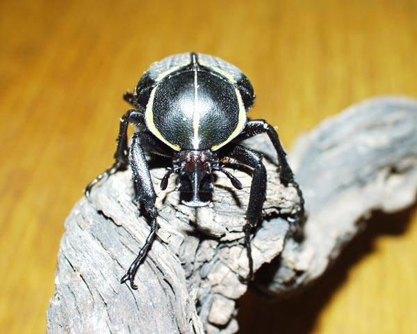 I když v řadě lidí většina brouků vzbuzuje spíše odpor, najdou se mezi tímto hmyzem i výjimky, které je schopen bez dechu obdivovat i ten nejzapřísáhlejší odpůrce. Někdy v tom hraje roli jejich vzhled živých klenotů, jindy jejichž cena, která často dosahuje až čtyřmístných částek.