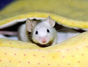 Pokud chce myší sameček zaujmout samičku, zazpívá jí. Nedrží sice v ruce kytaru a nepěje pod oknem, ale i tak je tento druh námluv v myší říši úspěšný.