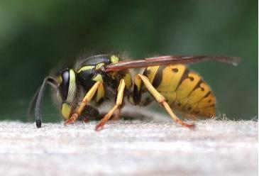 O tom, že i hmyz se může zapojit do boje proti terorismu, se nedávno přesvědčili američtí vědci. Jistý nebodavý druh vos dokáže spolehlivě odhalit například chemikálie na výrobu bomb.