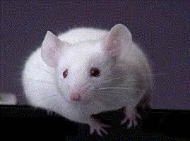 Vědcům se po dlouhotrvajících neúspěších konečně podařilo přemluvit lidské neurony, aby se zabydlely v myších hlavách.