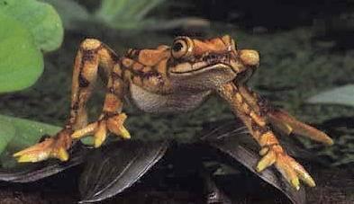 Záhadné vymírání žabích druhů ze středo- a jihoamerických oblastí je spojováno s plísňovým onemocněním, jehož šíření značně napomáhají klimatické změny.