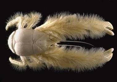 Američtí oceánologové objevili v jižním Pacifiku neznámého korýše, který svým zevnějškem připomíná humra obrostlého hustým kožichem.