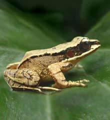 Čínské žáby se staly prvními živočichy mimo třídu savců, kteří prokázali, že umějí vnímat ultrazvuk.