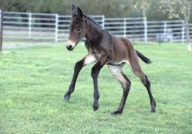 V červnu čeká dostihový sport historický zlom. Na dráhu se vůbec poprvé vydá naklonovaný kůň.