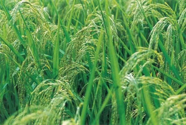 Pěstování kulturních rostlin, zejména obilnin, nezbytných pro zajištění výživy obyvatel Země je v historii lidstva nejvýznamnější zemědělskou činností. Z celkové rozlohy pozemské pevniny 149 milionů km2, se obilniny pěstují na 36 milionech km2, tedy na celé čtvrtině pevné plochy!