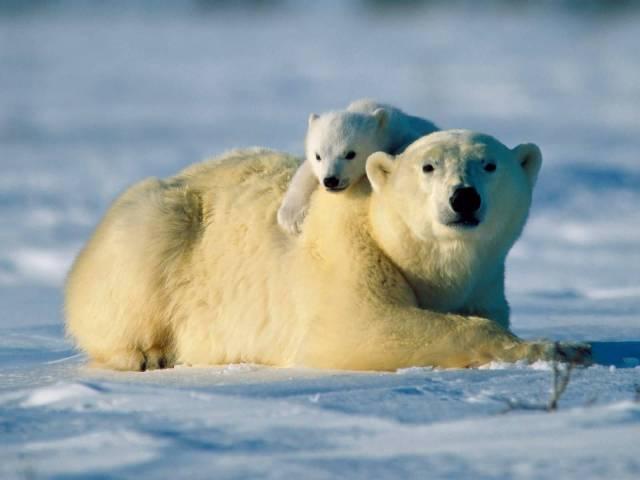 Ekosystémy v severní části zeměkoule dostávají jednu ránu za druhou. Američtí vědci nyní zjistili, že nedostatek přirozené potravy vede lední medvědy ke kanibalismu.