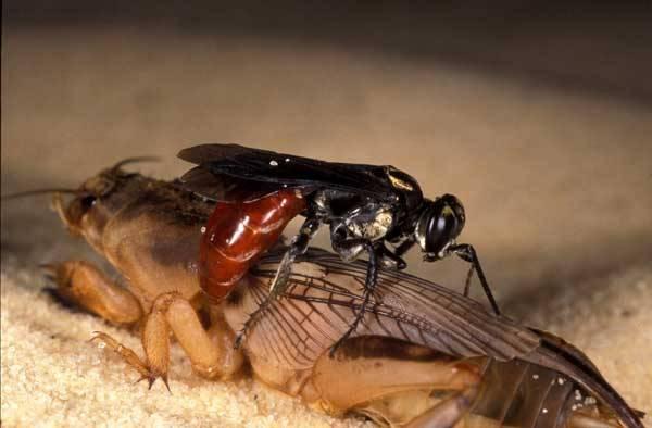 Vosička druhu Ampulex compressa si dělá ze švábů poslušné služebníky pro své potomky. Na počátku letošního roku izraelští neurologové z Ben-Gurion University v Beer-Sheva odhalili, co všechno dovedou se šváby provádět.