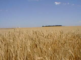 Genetičtí inženýři se předvedli s nevídaným kouskem. Udělali první krok k tomu, aby rostliny dokázaly chytat dusík ze vzduchu a nemusely se tak hnojit dusičnany.
