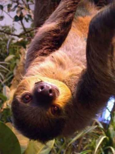 Když se za lenochody vypravíme do jejich přirozeného prostředí, tak je stejně neuvidíme ani si s nimi moc neužijeme. Nejsou to totiž příliš aktivní ani atraktivní zvířata. Nejnovější výzkumy však přinesly některé překvapivé poznatky. Dokonce se vědcům podařilo objevit zcela nový druh!