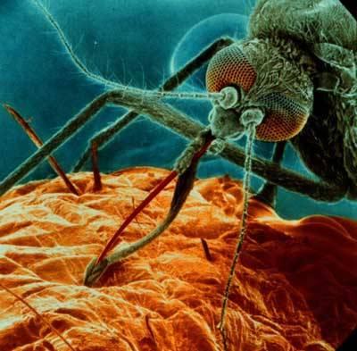 Úspěšnost a houževnatost parazita, který každoročně zabije kolem dvou milionů lidí, je pro vědce záhadou už téměř sto let. Teprve na sklonku loňského roku se podařilo zjistit, jak mistrným způsobem dokáže původce malárie podvádět imunitní systém.