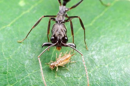 Víte, kolikrát drobný mravenec druhu Odontomachus bauri dokáže sklapnout kusadla, než stačíte mrknout okem?