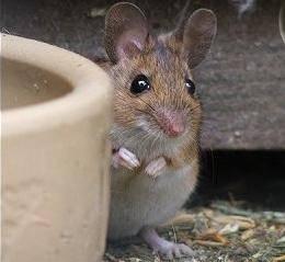 Všeobecně zažitou představu, že myši rády mlsají sýr, vyvrátili vědci z univerzity v Manchesteru.