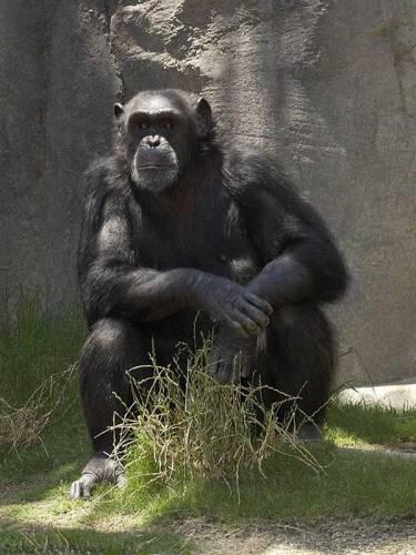 I když se o našem genomu dá do určité míry říci, že se od šimpanzího liší jen v šesti procentech, považujeme se ve všech ohledech za chytřejší tvory. Třeba proto, že v těch šesti procentech je napsáno, že máme větší mozek. Jenže větší ještě neznamená lepší…