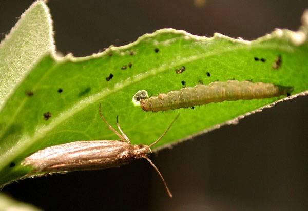 Už jste někdy viděli nezdravě tlustý hmyz? Pravděpodobně ne. Nový výzkum nyní odhaluje, proč se housenky mohou přecpávat k prasknutí, aniž by to nějak ohrožovalo jejich vzhled.
