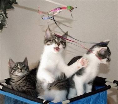 První klonovaná kočka na světě má koťata.