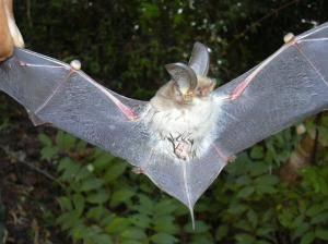 Na Madagaskaru byl objeven nový druh netopýra.