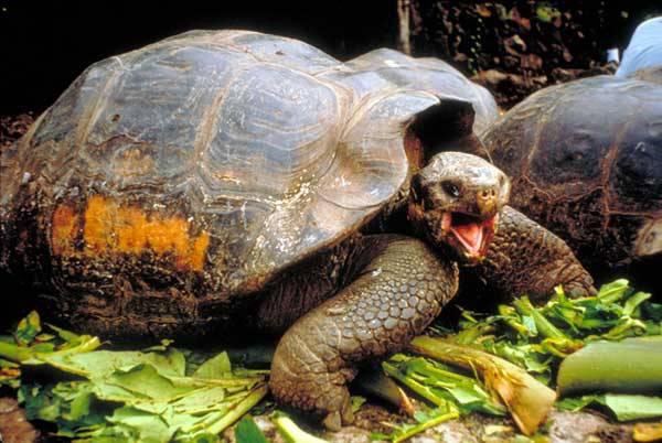 """Jméno souostroví dali jeho původní obyvatelé, obrovské želvy sloní,  španělsky """"galapágo"""". Našly zde však trvalé bydliště i další jedinečné druhy živočichů, z nichž  mnohé nikde jinde na Zemi neexistují. Pro dnešní vědce je souostroví jednou velkou laboratoří. Polovina zdejších zvířat totiž jinde na světě nežije!"""