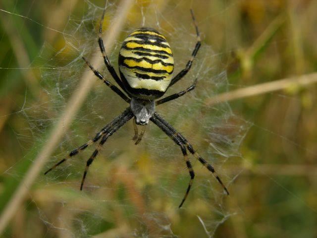 """Aby si byl pavoučí sameček jistý, že se jeho partnerka nespáří s někým jiným, po kopulaci jí """"ucpe"""" její pohlavní otvor."""