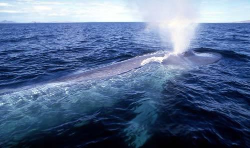 Vědcům se podařilo rozlišit několik velrybích nářečí.