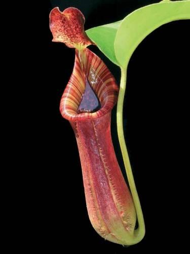 Masožravé rostliny kvůli zpestření jídelníčku chutným kusem libového hmyzu budují důmyslné pasti, jejichž propracovanost by jim mohl závidět jakýkoli materiálový inženýr.
