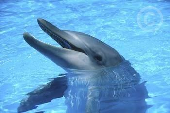 Delfíni vylepšují své echolokační schopnosti za pomoci chrupu.