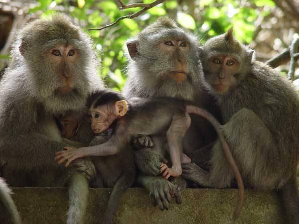 První klony primátů Podařil se Vietnamcům naklonovat makaky? Před korejským podvodem s klony lidských embryí se mělo za to, že primáty současnými metodami klonovat nelze.