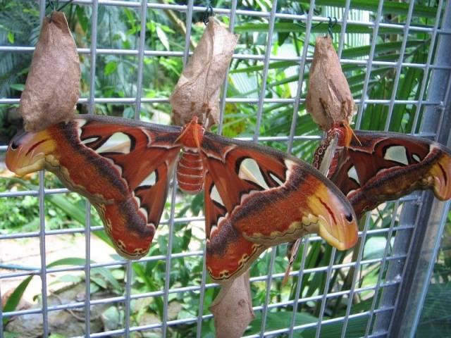 Výstava exotických motýlů v Botanické zahradě hl.města Prahy sice podle kalendáře akcí skončila, motýli si ovšem poroučet nedají! (A dělají dobře!)