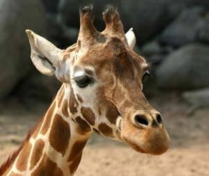 V jedné ze zoo na jihu Číny vznikl projekt pozorování změn v chování zvířat s cílem předpovědi zemětřesení.