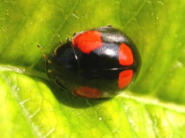 Slunéčka jsou dravci hmyzí říše. Jejich obliba vychází nejen z jejich vzhledu, ale zejména z jejich žravosti. Významně totiž snižují nebezpečí přemnožení četných druhů škůdců.