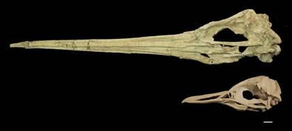 Peru před 35 miliony let obývali obří prapředci dnešních tučňáků.