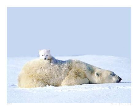 Podle amerických vědců přežije rok 2050 pouze třetina současné populace (16 000 ze současných 50 000) ledních medvědů.