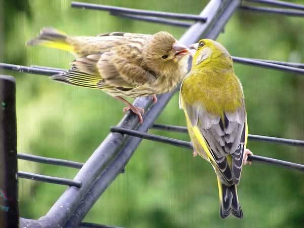 Ptačí zpěv je jedním ze symbolů přírody. I ne příliš pozorný posluchač si však v poslední době může všimnout, že ptáci své koncerty přesouvají z časných ranních hodin hluboko do noci. Vědci nyní rozluštili, jaký důvod se za tím skrývá.