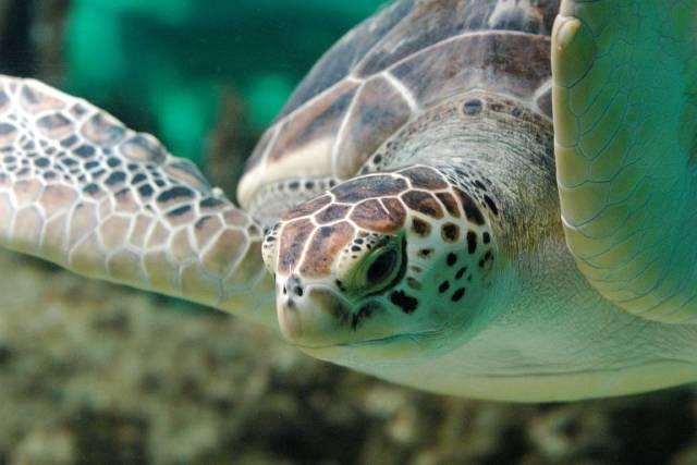 Američané zkoumali, jak se želvy dokáží samy dostat z polohy na zádech.