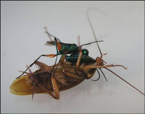 Izraelští neurologové objevili protijed proti paralyzující látce, kterou parazitické vosičky používají na zotročování švábů.